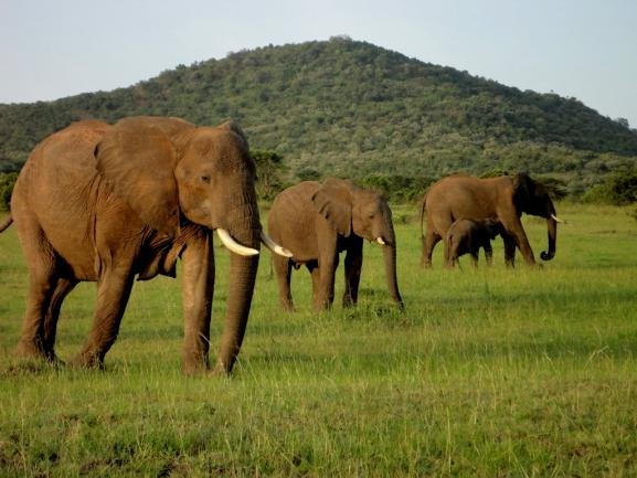 Four elephants in a grassy field
