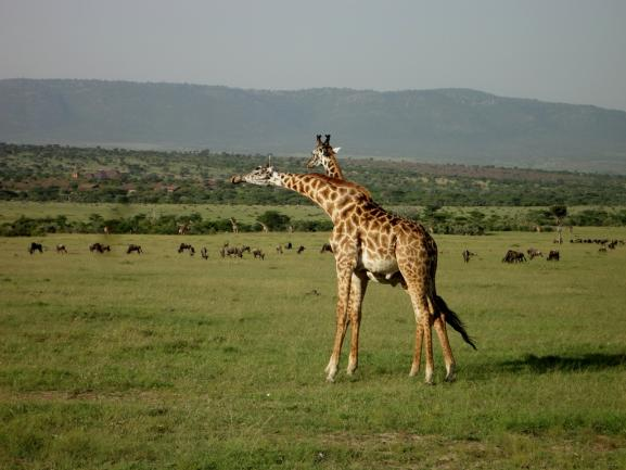 Two giraffes in a field