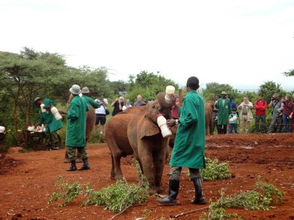 Workers bottle feeding baby elephants